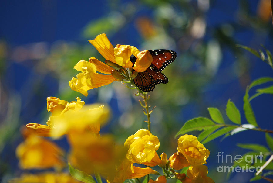 Butterfly Pollinating Flowers  Photograph  - Butterfly Pollinating Flowers  Fine Art Print