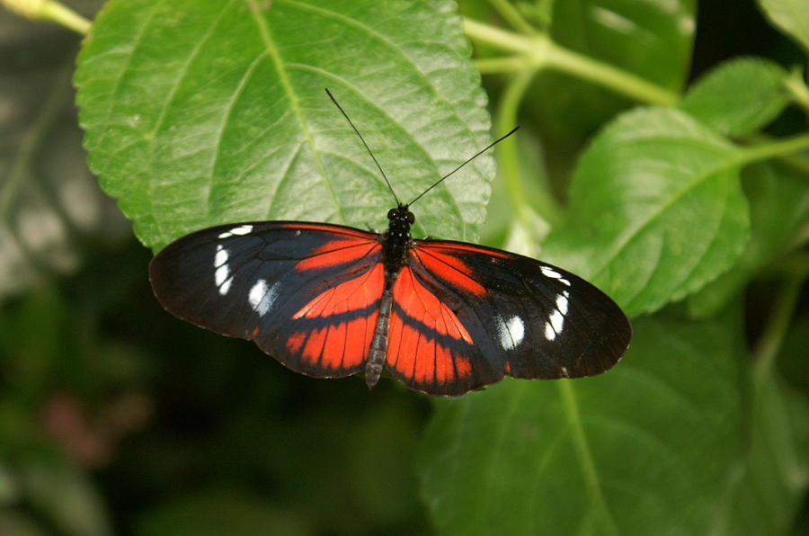 Red Photograph - Butterfly Rest by Kenric A Prescott