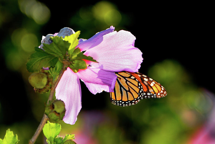 Butterfly Sunset Photograph
