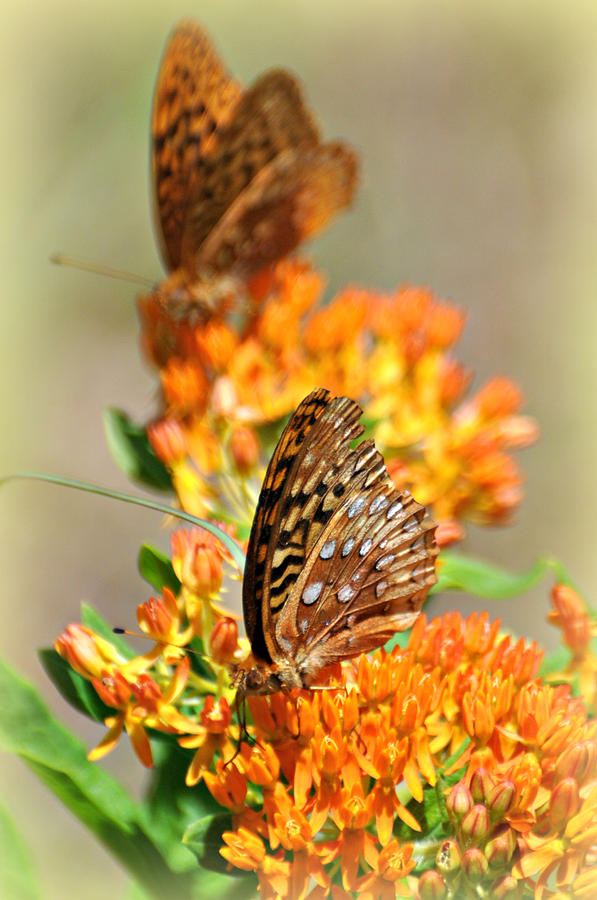 Butterfly Photograph - Butterfly Weed 2 by Marty Koch