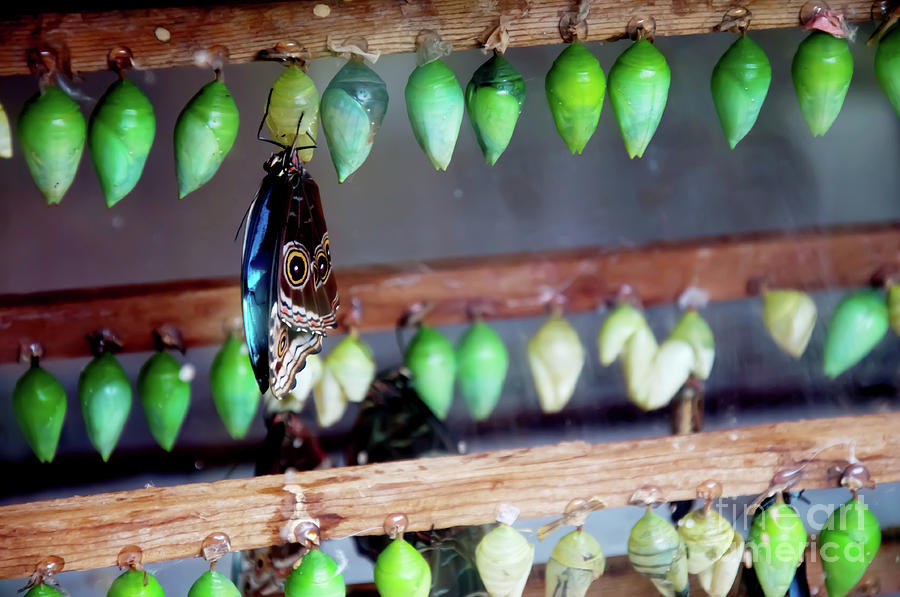 Butterfly With Butterfly Chrysalis 1 Photograph