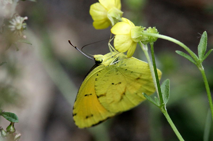Cabbage Yellow Photograph - Butterfly - Yellow Sulphur On Yellow by Travis Truelove