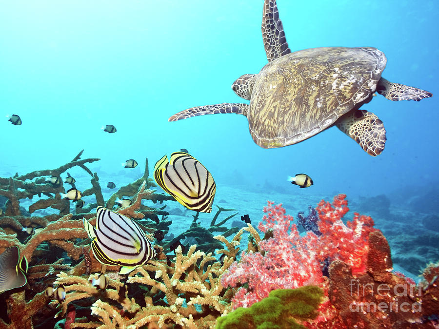 Butterflyfishes And Turtle Photograph