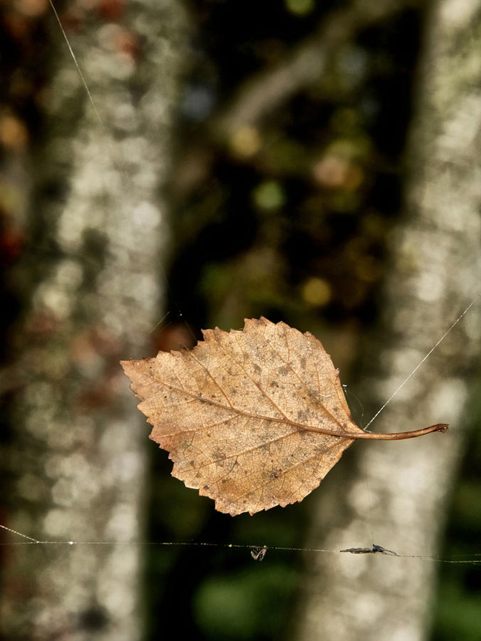 Leaf Photograph - By A Thread by Odd Jeppesen