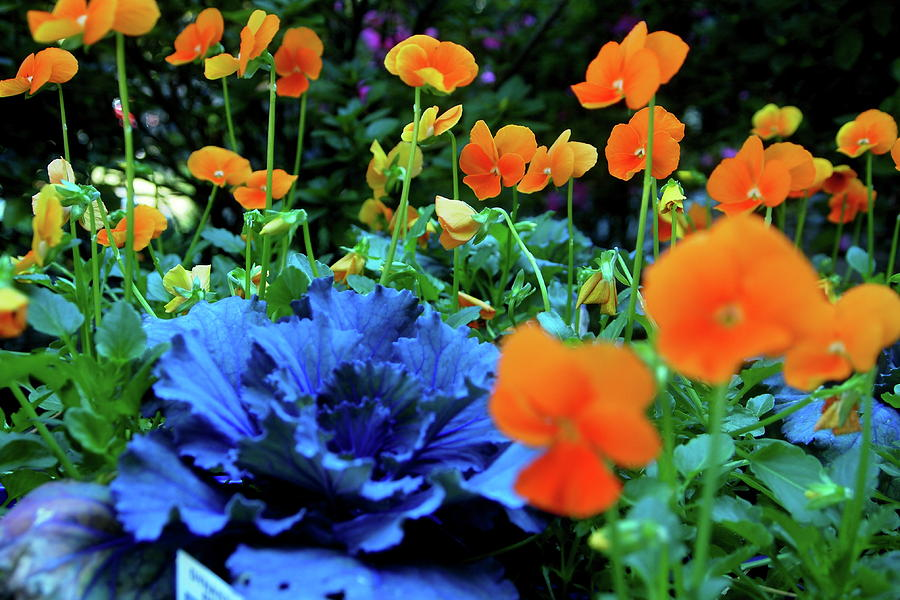 Photography Photograph - Cabbage And Violas by Laura  Grisham