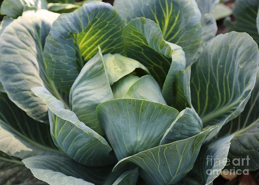 Food Art Photograph - Cabbage In The Vegetable Garden by Carol Groenen