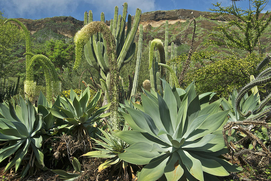 Cacti Of Koko Crater By Michael Peychich