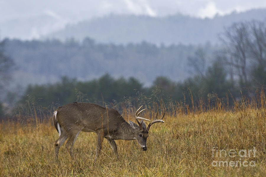 Cades cove white tail d007884 by daniel dempster