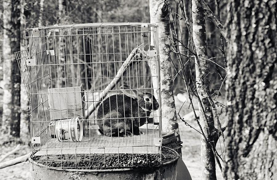 Caged Rabbit Photograph