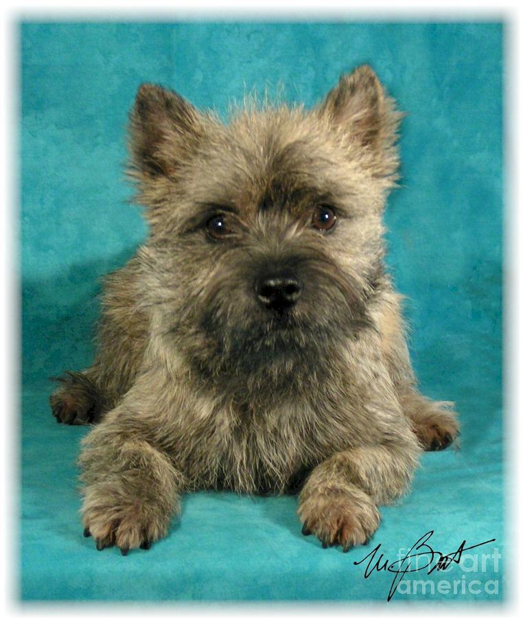 Cairn Terrier Pup Digital Art