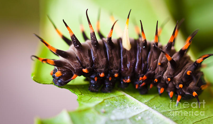 Birdwing Photograph - Cairns Birdwing Butterfly Caterpillar by Johan Larson