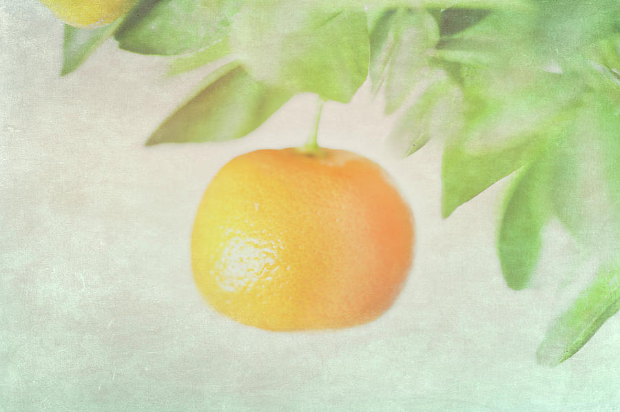 Calamondin Miniature Orange Photograph