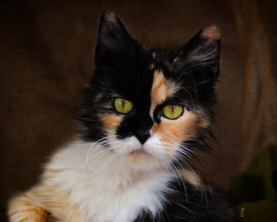 calico cat portrait photograph by jai johnson