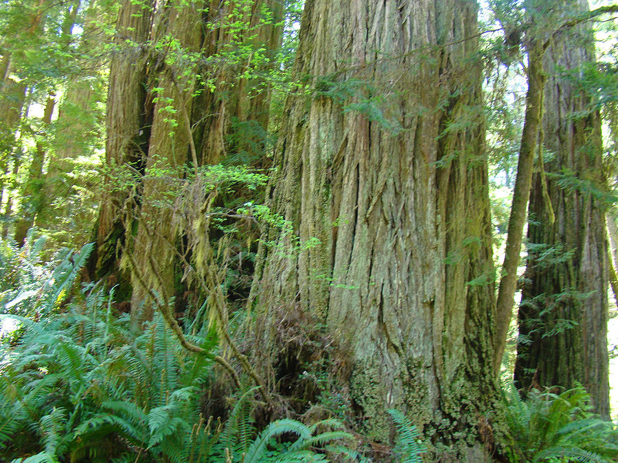 Landscaping With Redwood Trees : Redwood photograph califorina coastal trees art prints by