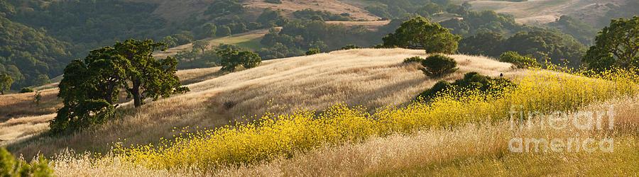 California Mustard Panorama Photograph