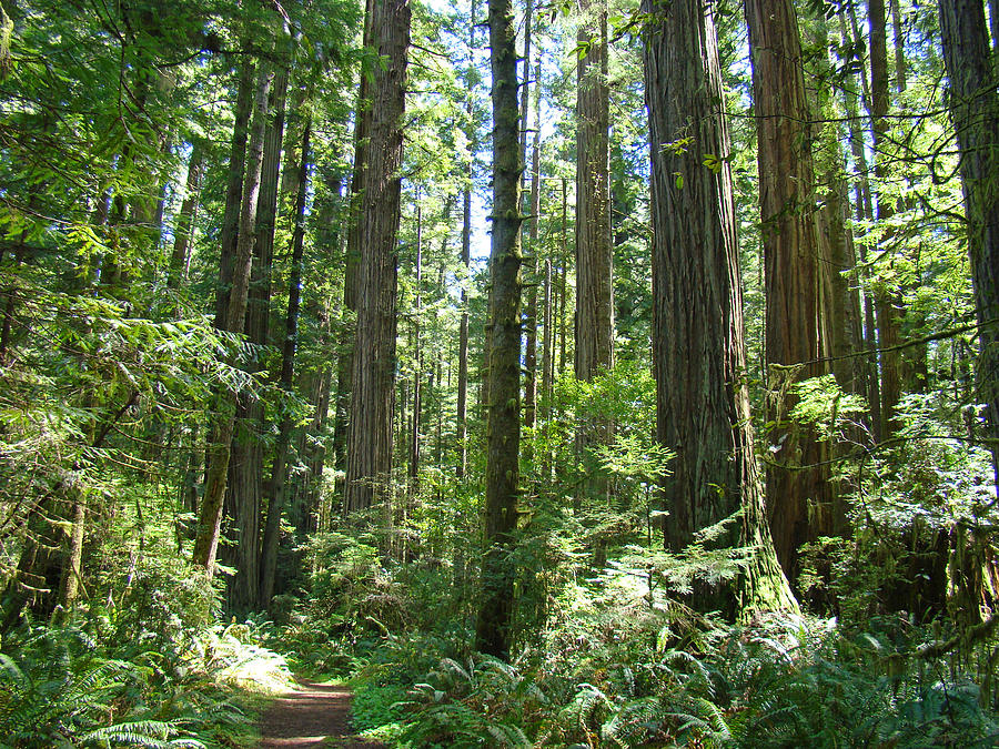 California Redwood Trees Forest Art Prints Photograph