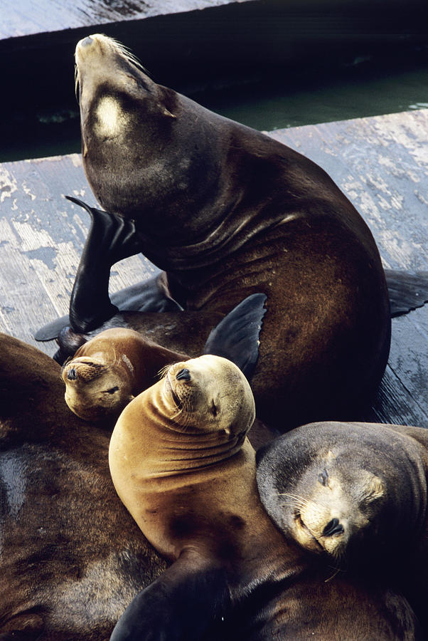 California Sea Lions Photograph