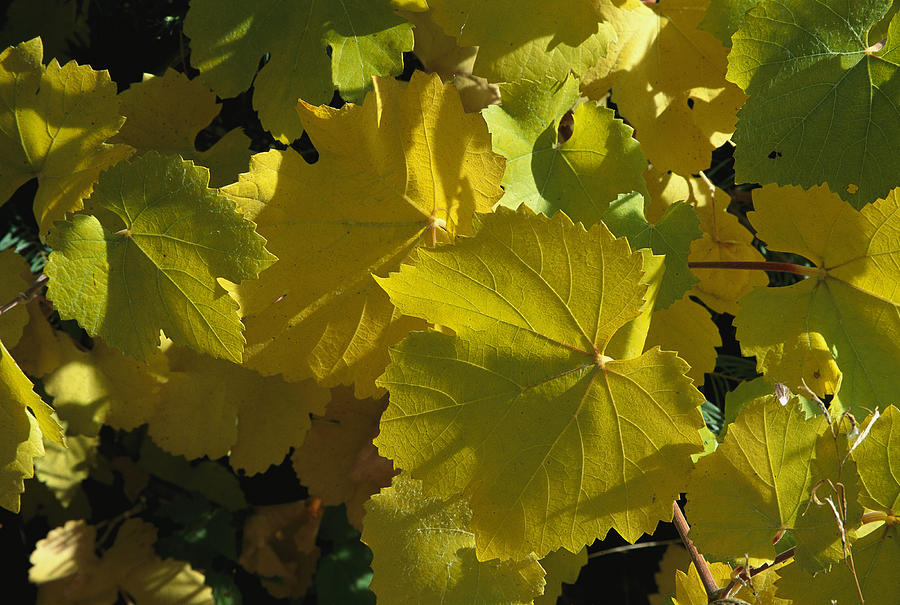 California Wild Grape Leaves Vitis Photograph