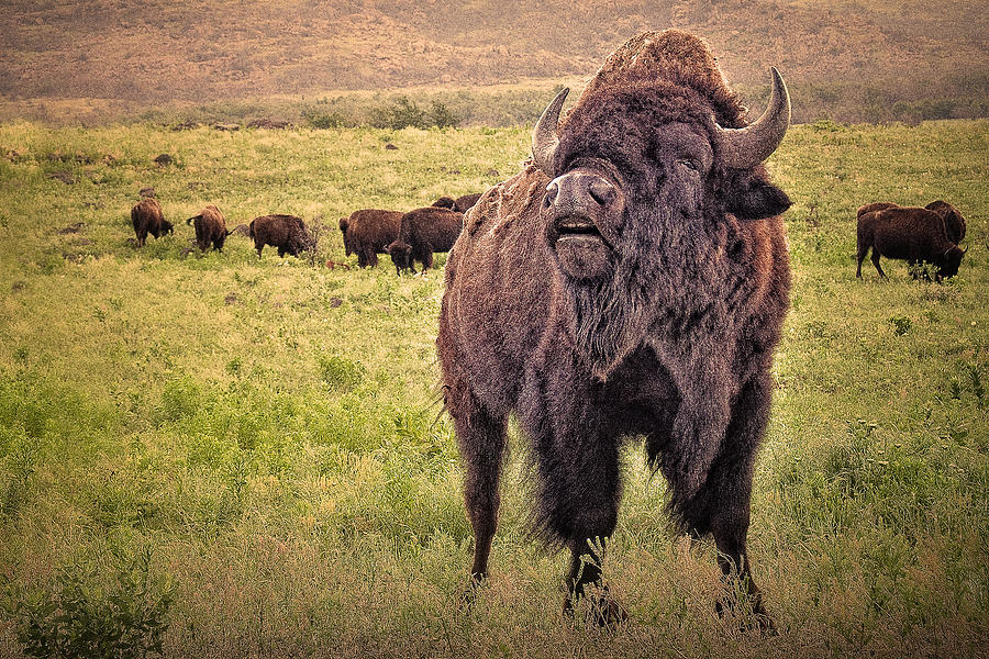 Call Of The Bison Photograph  - Call Of The Bison Fine Art Print