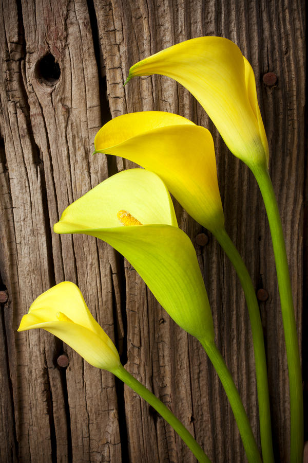 Calla Lilies Against Wooden Wall Photograph  - Calla Lilies Against Wooden Wall Fine Art Print