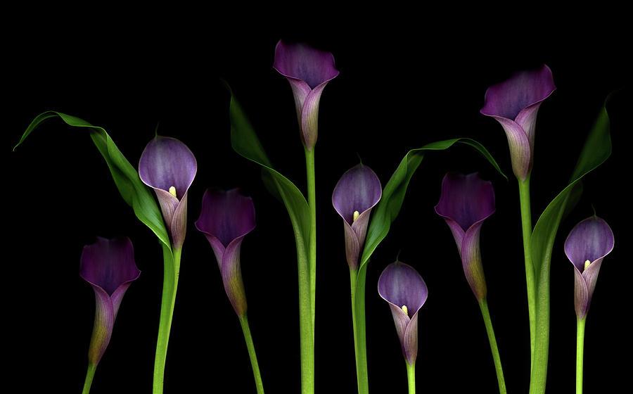 Calla Lilies Photograph