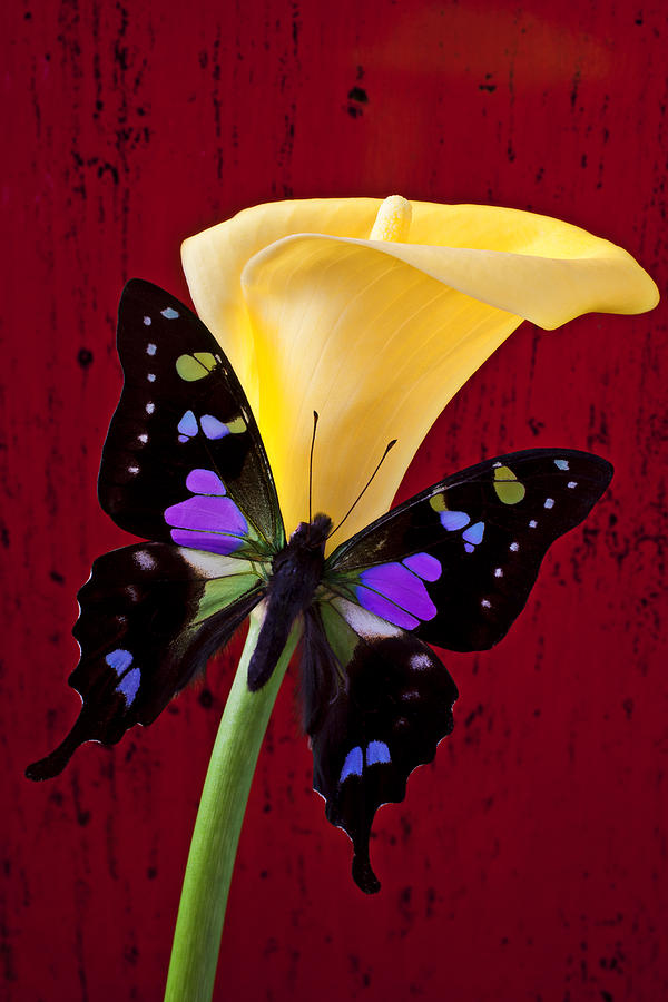 Calla Lily And Purple Black Butterfly Photograph  - Calla Lily And Purple Black Butterfly Fine Art Print