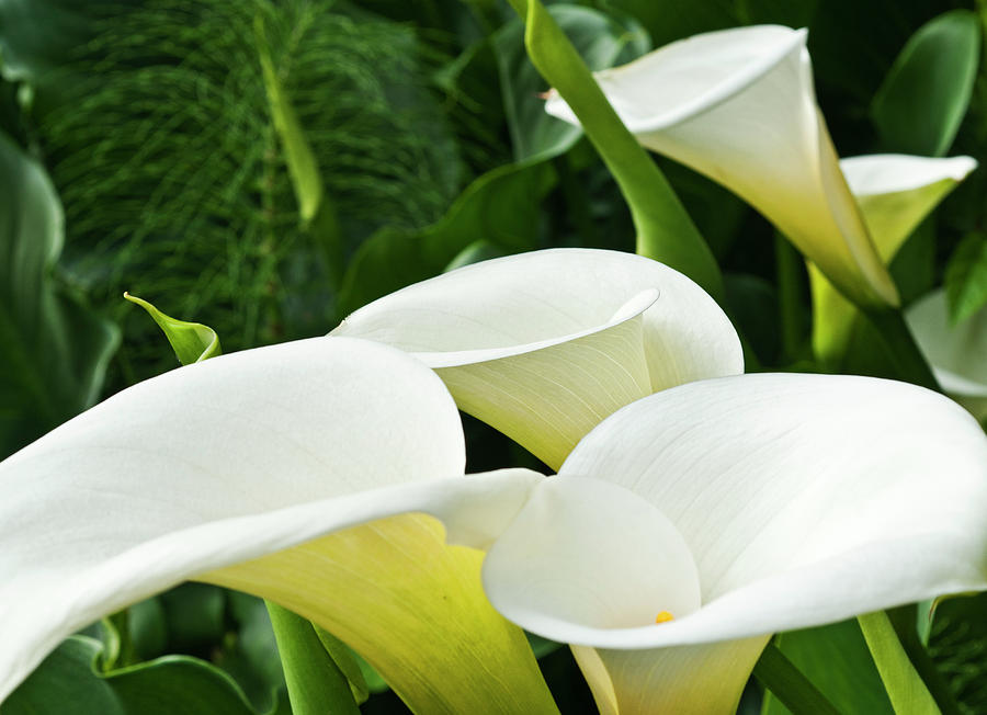 Calla Lily Group Photograph  - Calla Lily Group Fine Art Print