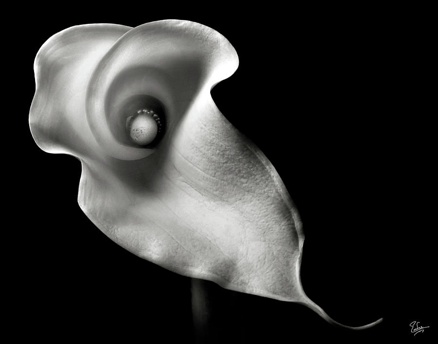 Calla Lily In Black And White Photograph
