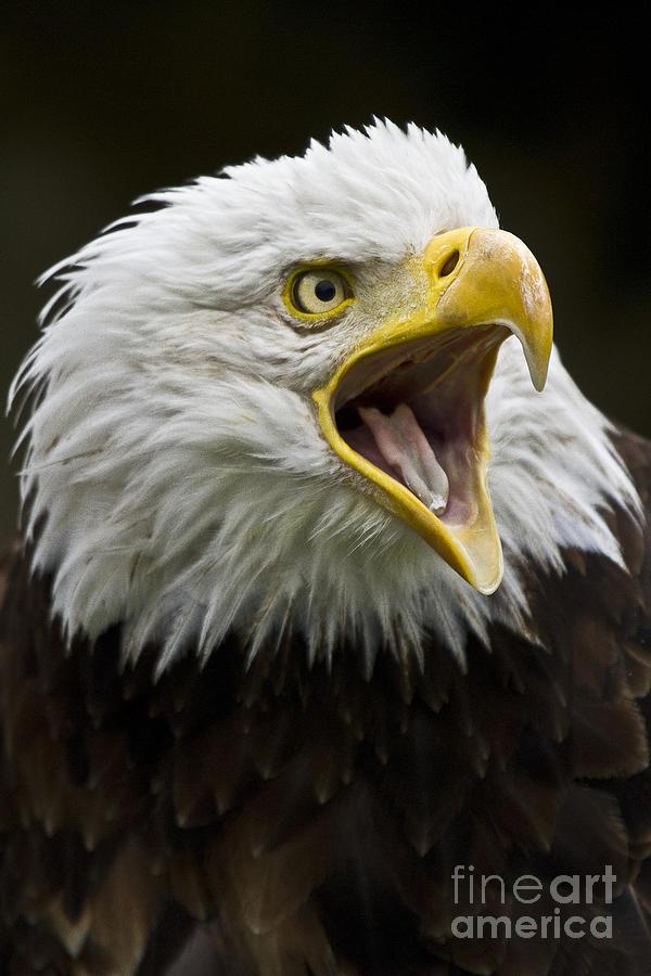 Calling Bald Eagle - 4 Photograph