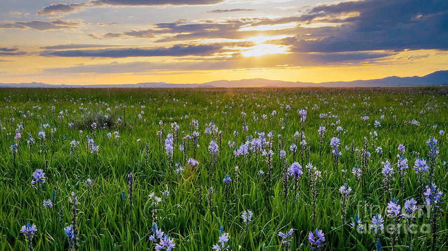 Camas Fields Photograph  - Camas Fields Fine Art Print