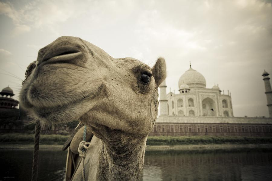 Camel In Front Of The Yamuna River And Photograph  - Camel In Front Of The Yamuna River And Fine Art Print