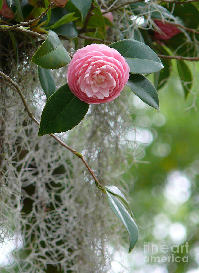 Camellia And Moss Photograph