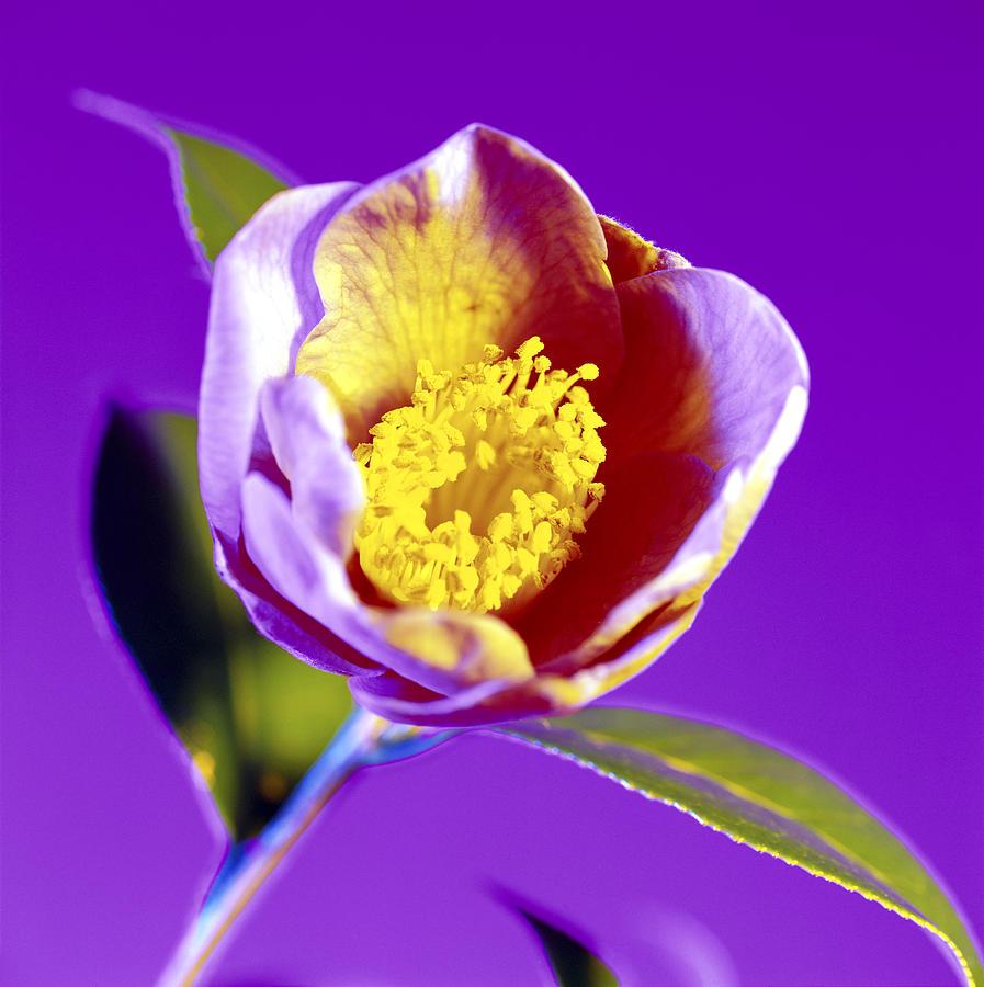 Camellia Sp. Photograph - Camellia Flower (camellia Sp.) by Johnny Greig
