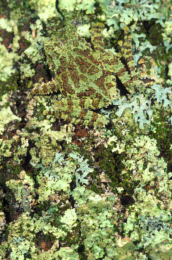 Camouflaged Vietnamese Mossy Tree Frog Photograph