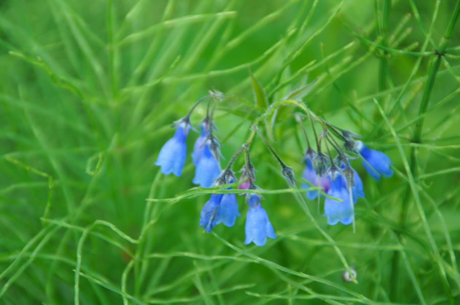 Can You Hear The Blue Bells Photograph