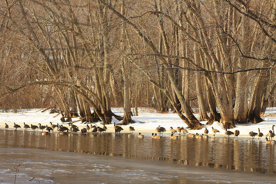Canada Geese On Concord River Photograph
