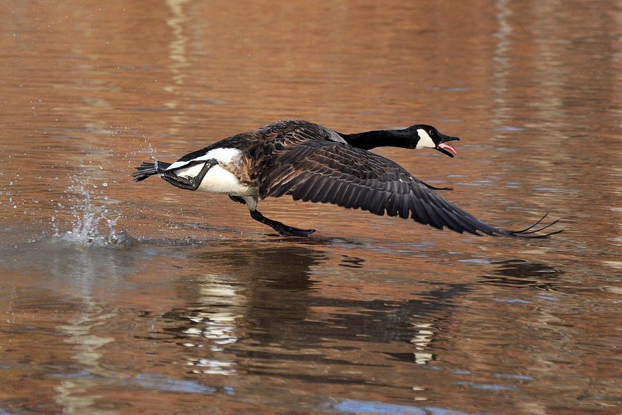 Canada Goose Above Pond - C0174d Photograph