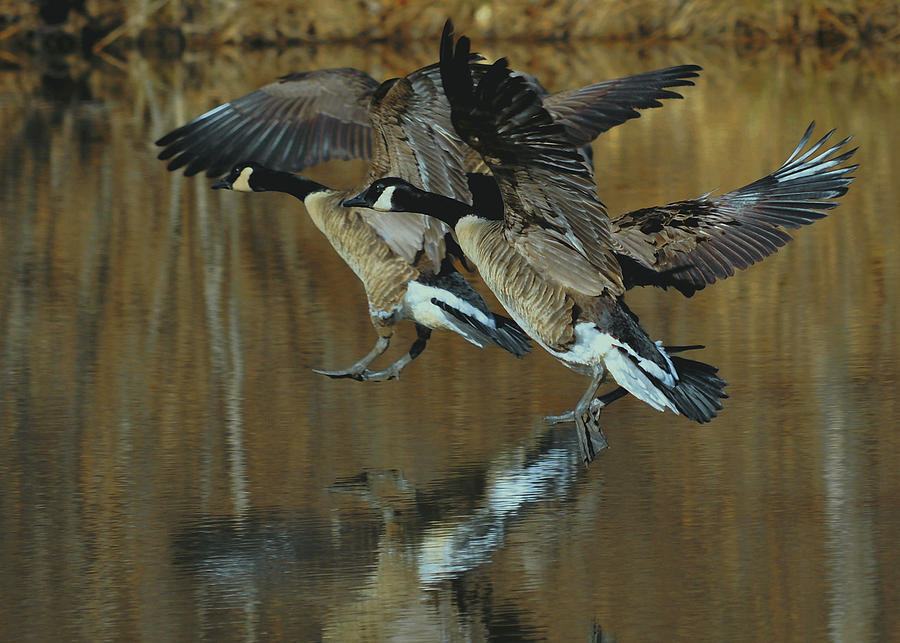 Paul Lyndon Phillips Photograph - Canada Goose Trio Landing - C0843m by Paul Lyndon Phillips