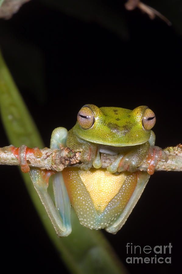Canal Zone Tree Frog Photograph
