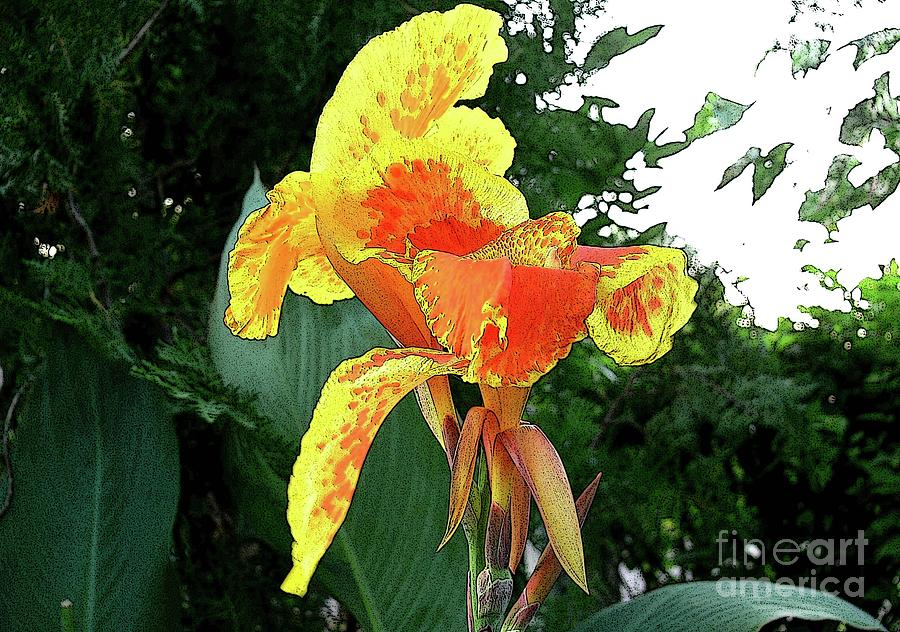 Canna 3 Photograph  - Canna 3 Fine Art Print