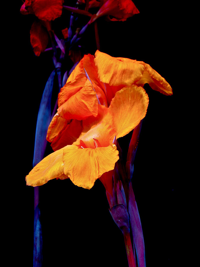 Canna Lilies On Black With Blue Photograph