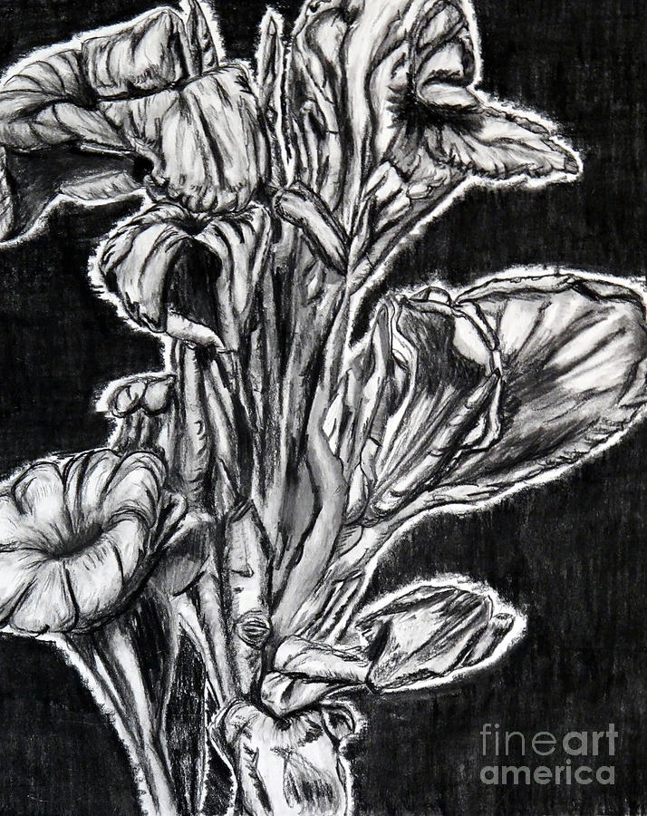 Canna Lily Guangzhou China Drawing  - Canna Lily Guangzhou China Fine Art Print