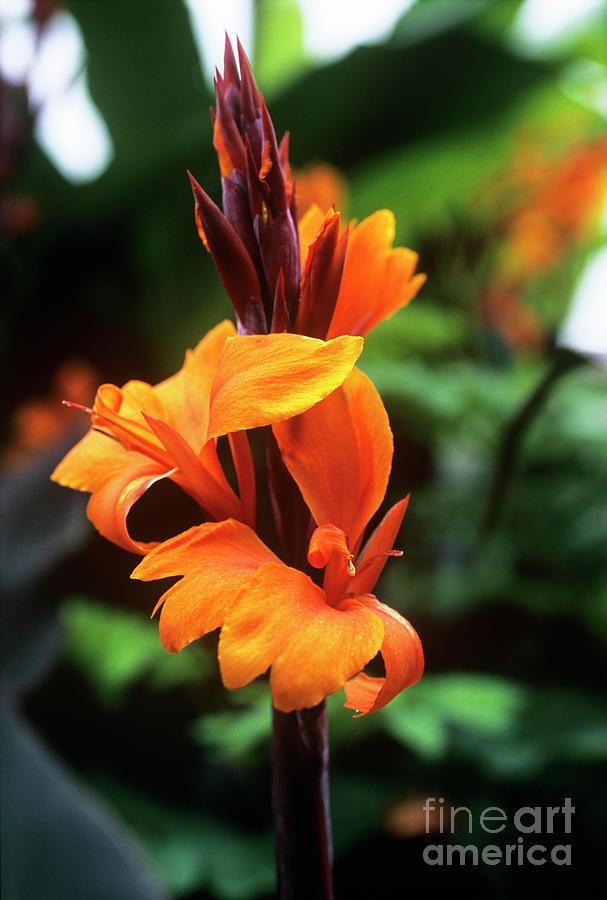 Canna Lily roi Humbert Photograph