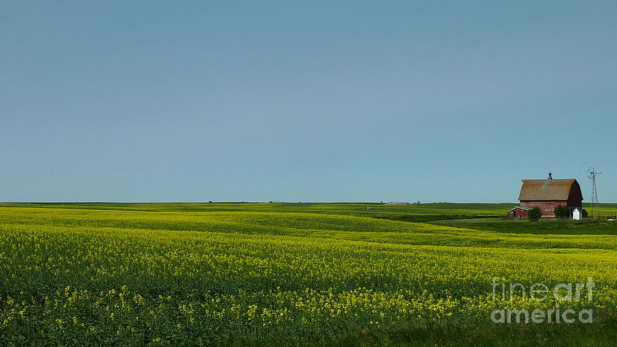 Canola Farm Photograph