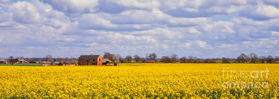 Canola Field Photograph