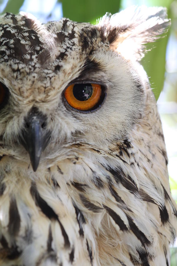 Cape Eagle-owl Photograph  - Cape Eagle-owl Fine Art Print
