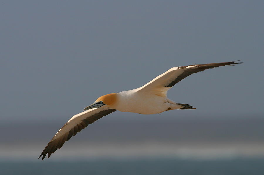 Cape Gannet In Flight Photograph