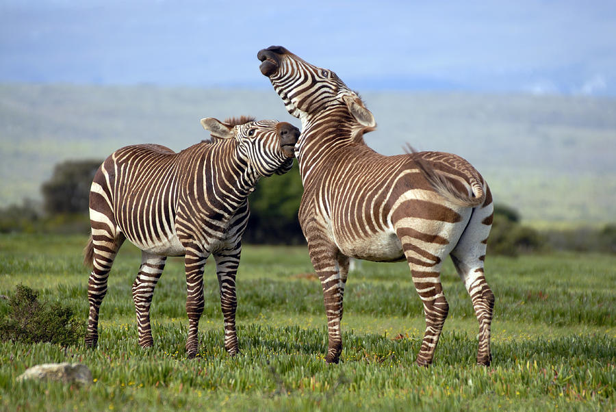 Equus Zebra Zebra Photograph - Cape Mountain Zebra Stallions Sparring by Peter Chadwick