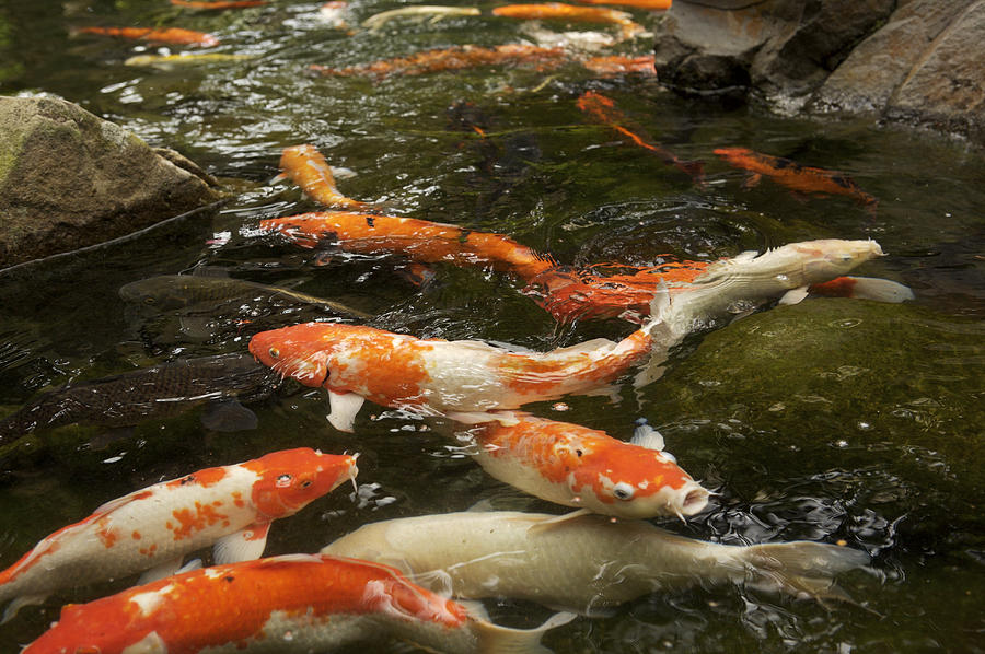Captive koi japanes carp in a fish pond photograph by tim for Large koi carp