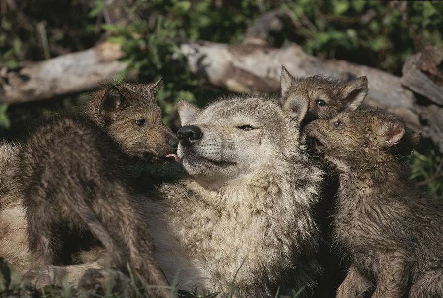 ... wolf pups sleeping cute wolf pups playing gray wolf pups playing wolf